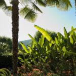 les palmiers et les bananiers