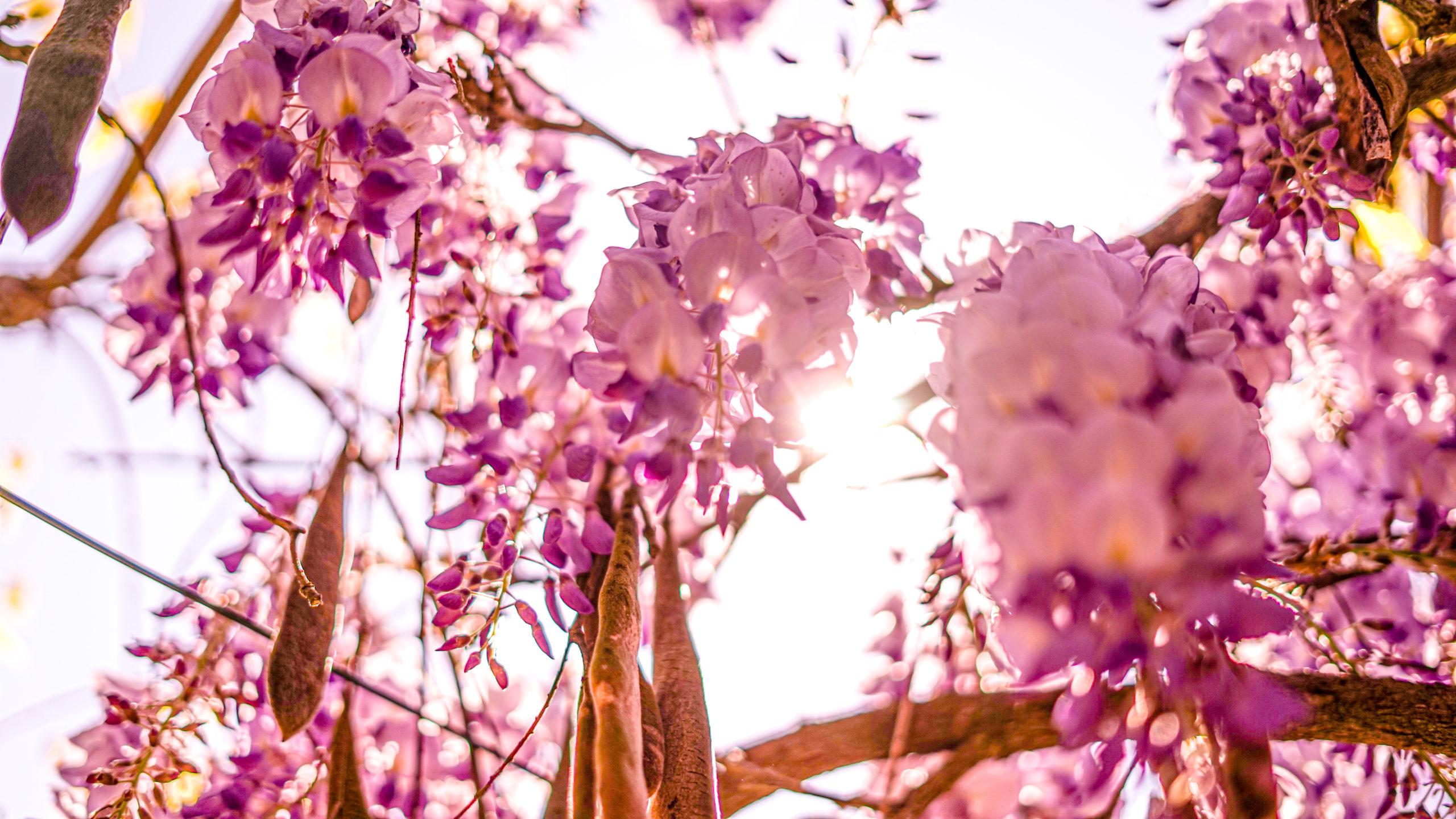 Wisteria - fleurs au camping Le Paradis